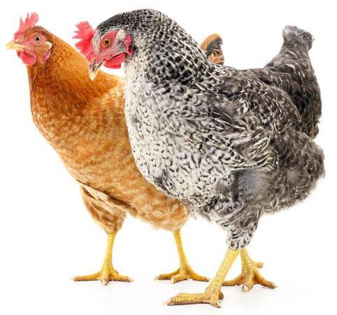 adoptez des poules