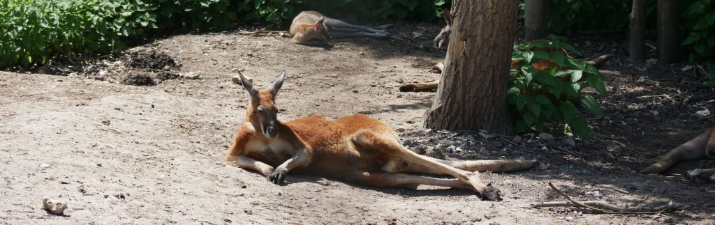 kangourou roux aux jardins animaliers Biotropica
